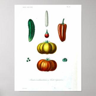 Vintage Botanical Poster - Squash