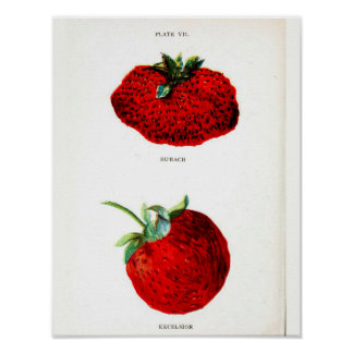 Vintage Botanical Poster - Strawberry