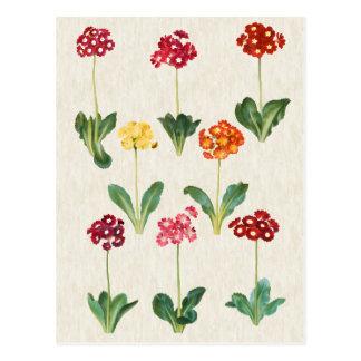 Vintage Botanical Primrose Illustration Postcard