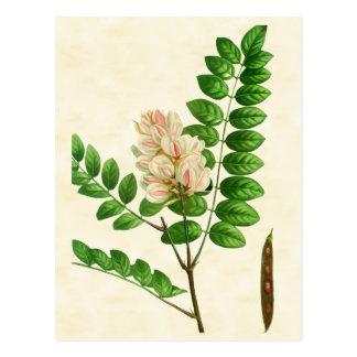 Vintage Botanical Rose Flowering Locust Tree Postcard