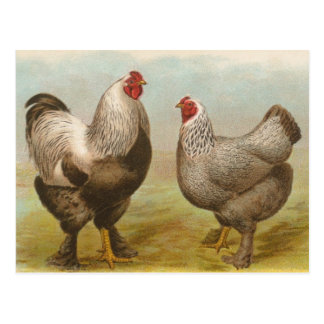 Vintage Brahma Rooster and Hen Postcard