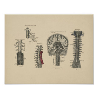 Vintage Brain Spinal Anatomy 1880 Print