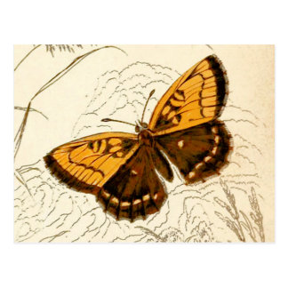 Vintage Butterfly Illustration, Gold and Brown Postcard