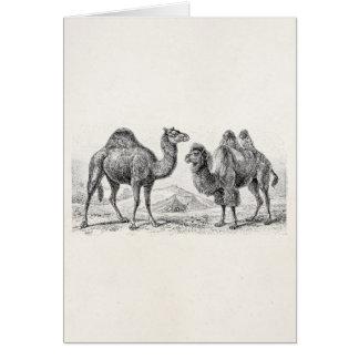 Vintage Camel Illustration - Retro Antique Camels Card