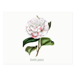 Vintage Camellia Post Card