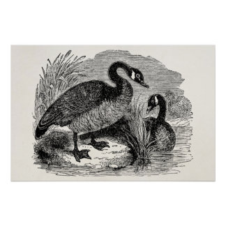 Vintage Canadian Goose Bird - Geese Birds Template Poster