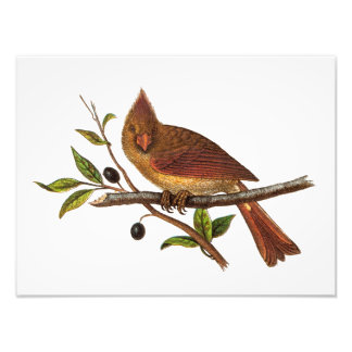 Vintage Cardinal Song Bird Illustration - Female Photo Print