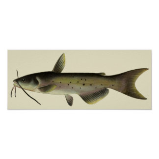 Vintage Catfish Fish, Marine Life River Animal Poster