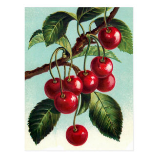 Vintage Cherries on a branch Postcard