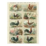 Vintage Chickens -- Ornamental Fowls Postcard