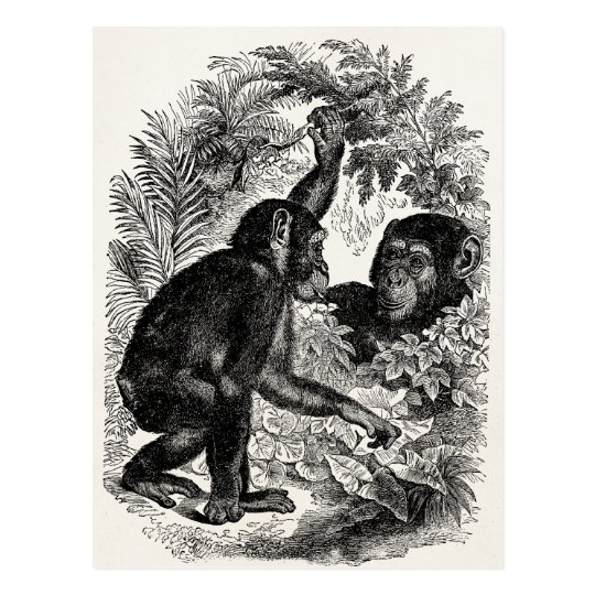 Vintage Chimpanzees 1800s Monkey Chimp Template Postcard