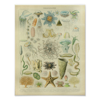 Vintage Color Jellyfish Sea Life Art Print
