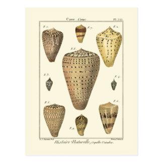 Vintage Cone Shells Postcard