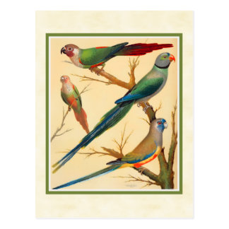 Vintage Conure and Parakeets Postcard