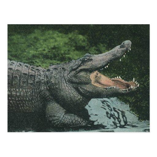 Vintage Crocodile, Marine Animal Life Reptile Post Cards