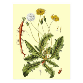 Vintage Dandelion Illustration Postcard