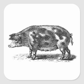 Vintage Domestic Pig Illustration - 1800's Hogs Square Sticker