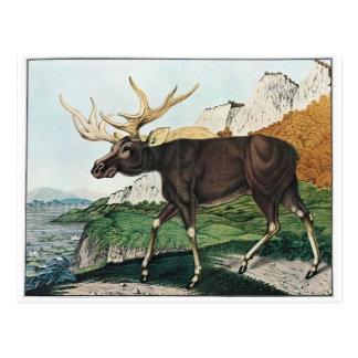 Vintage Elk Painting Postcard