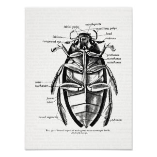 Vintage Entomology Hydrophilidae Scavenger Beetle Poster