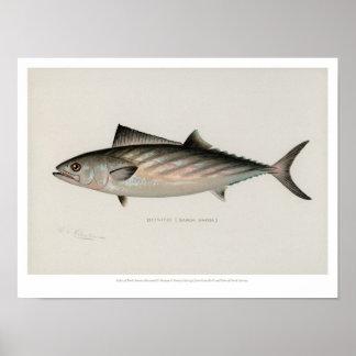Vintage Fishes - Bonito Poster