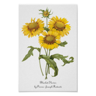Vintage Floral Blanket Flower Sunflower by Redoute Poster