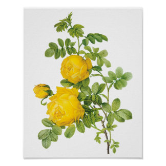 Vintage Floral Flowers, Yellow Roses by Redoute Poster
