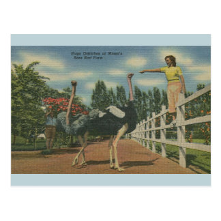 Vintage Florida Ostrich Rare Bird Farm Postcard