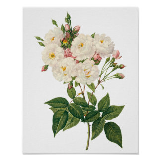 Vintage Flowers Floral Blush Noisette Rose Redoute Poster
