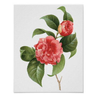 Vintage Flowers Floral Red Pink Camellias Redoute Poster