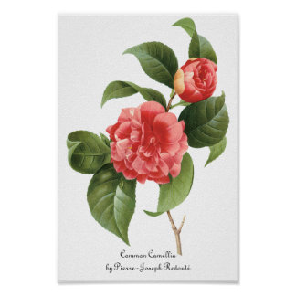 Vintage Flowers Floral Red Pink Camellias Redoute Posters