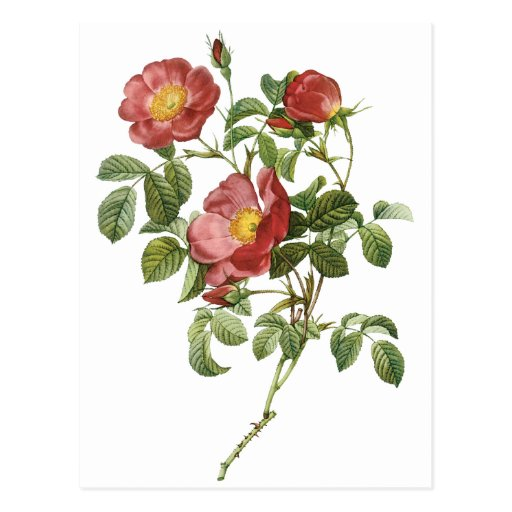 Vintage Flowers Floral Red Rose of Love by Redoute Postcards