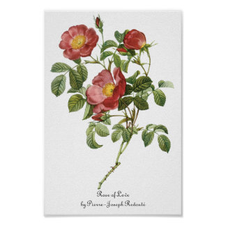 Vintage Flowers Floral Red Rose of Love by Redoute Poster