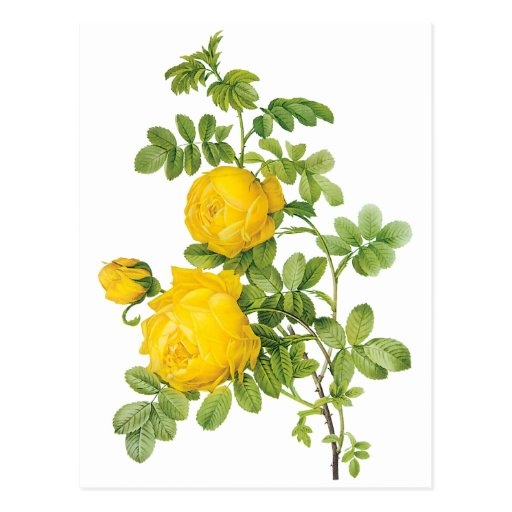 Vintage Flowers Floral, Yellow Roses by Redoute Post Card