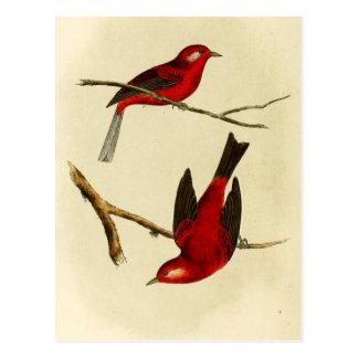 Vintage Flycatcher Bird Postcard