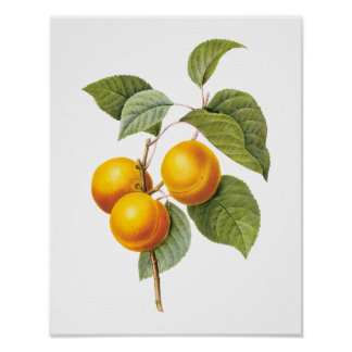 Vintage Food Fruit, Apricot Peach by Redoute Poster