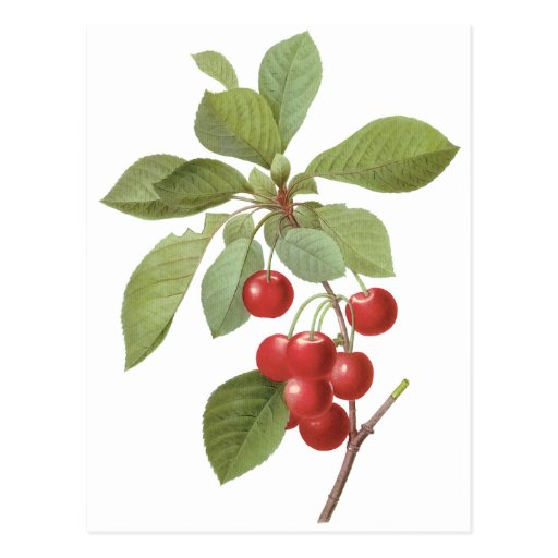 Vintage Food Fruit, Cherry Cherries by Redoute Postcard