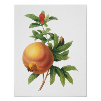 Vintage Food Fruit, Pomegranate by Redoute Poster