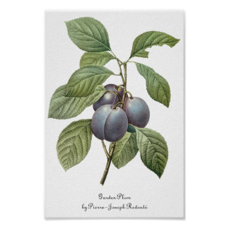 Vintage Food Fruit, Purple Garden Plums by Redoute Poster