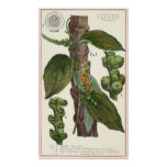 Vintage Food Herbs Spices, Black Pepper Plant Poster