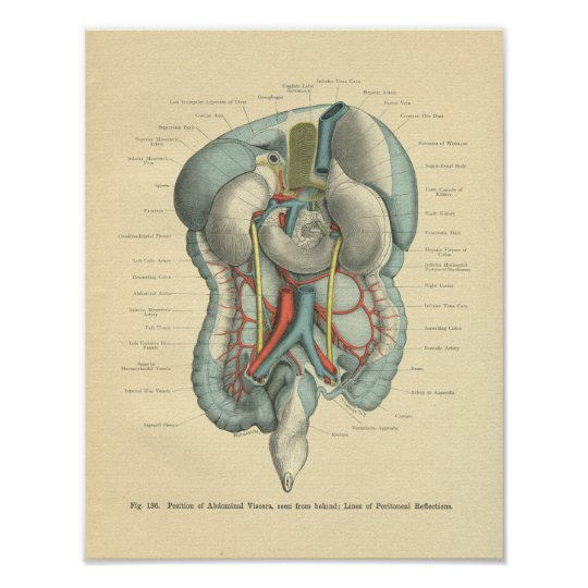Vintage Frohse Anatomy Intestines Organs Poster