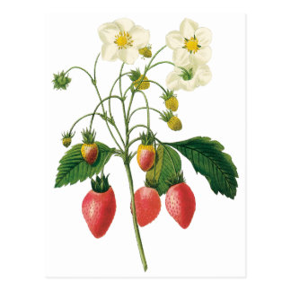 Vintage Fruit Berries Food Strawberries by Redoute Postcard