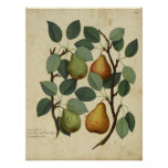 Vintage Fruit Botanical Poster Pear Illustration
