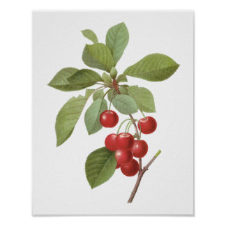 Vintage Fruit Cherry Food, Cherries by Redoute Poster