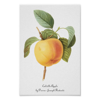 Vintage Fruit Food, Calville Apple by Redoute Poster
