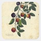 Vintage Fruit Plum Botanical Print Square Sticker