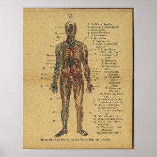 Vintage German Anatomy Print Arteries Nerves