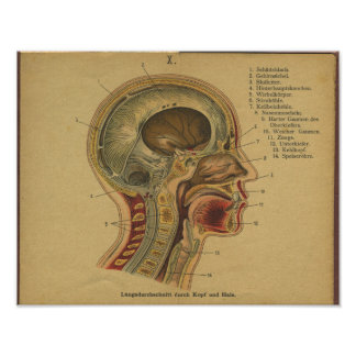 Vintage German Anatomy Print Head Neck