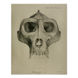 Vintage Gorilla Skull Anatomy Print Veterinary