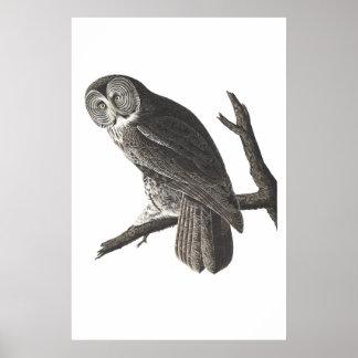 Vintage Great Cinerous Owl illustration print