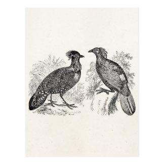 Vintage Hasting's Tragopan Pheasant Impeyan Bird Postcard